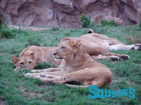 resting lions