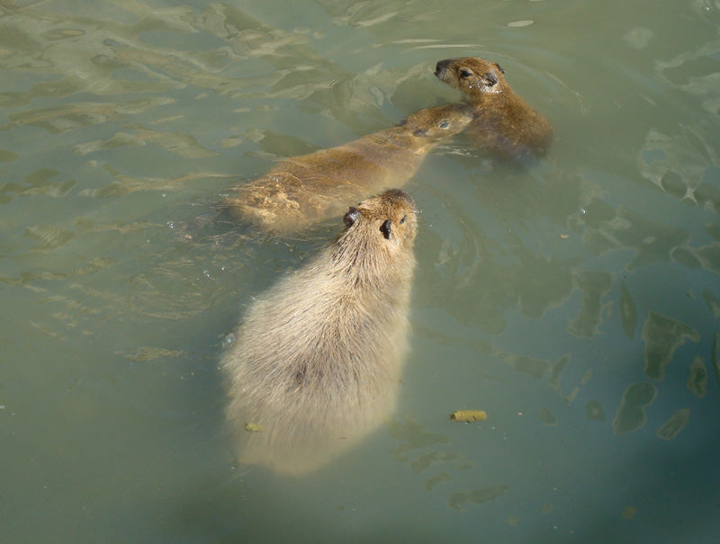 swimming capybara