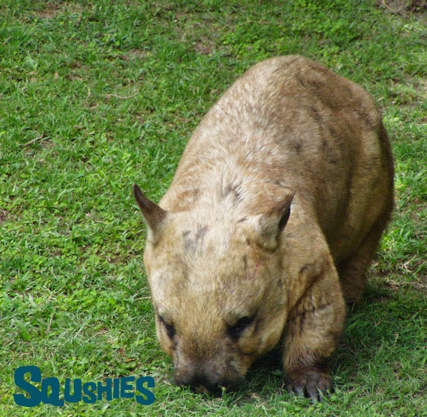 Hairy-Nosed wombat