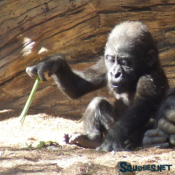 Young Gorilla Playing - San Diego Zoo Safari Park