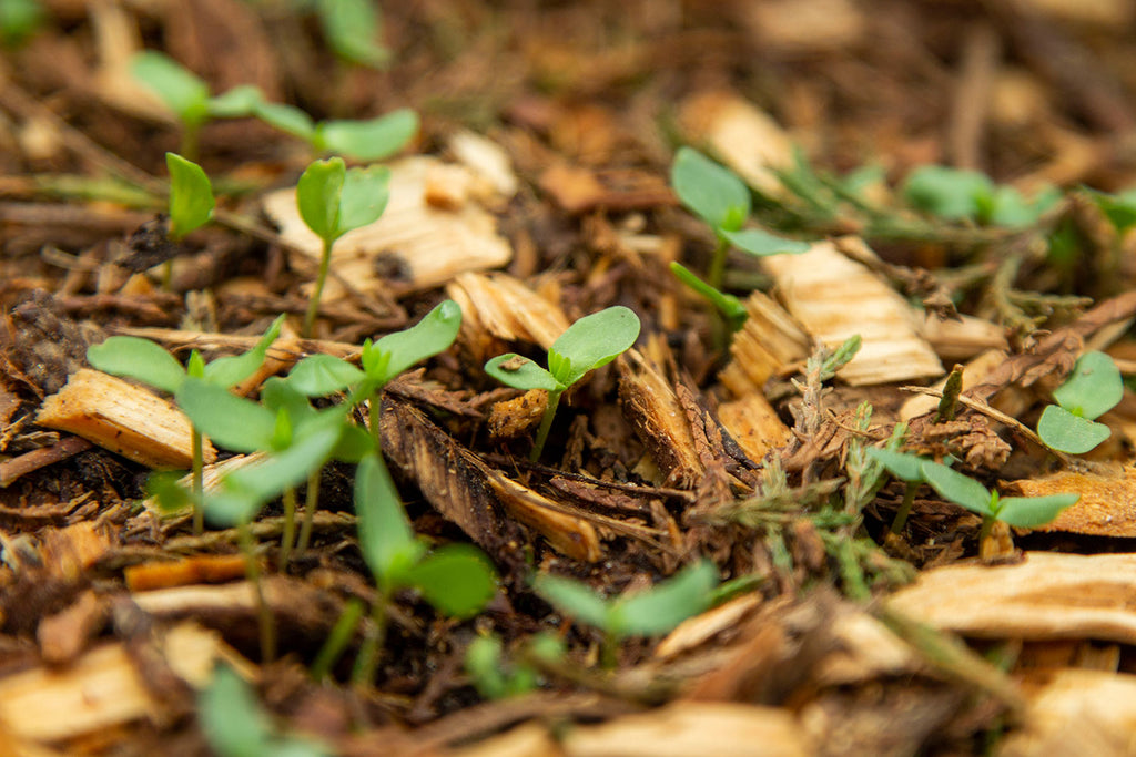 A super close up of green flax seedlings poking their heads up through a thin layer of brown wood chipped mulch.