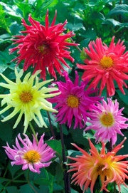 DAHLIA 'Cactus Flowered Mix'