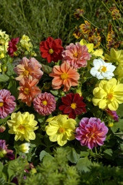 DAHLIA 'Bambino Improved'