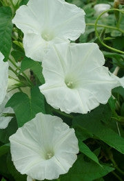 KEJSARVINDA 'Giant White'