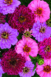 ZINNIA 'Art Deco'