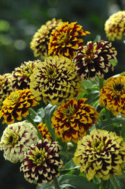 GULDZINNIA 'Jazzy Mixture'