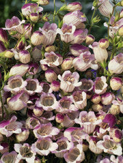KLOCKPENSTEMON 'Lilac Frost'