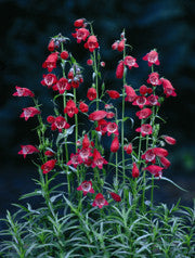PENSTEMON 'Sunburst Ruby'