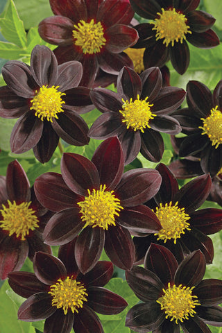 DAHLIA 'Black Beauty'