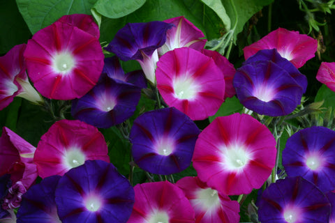Purpurvinda 'Bohemian Shades'