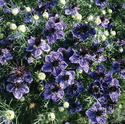 NIGELLA 'Midnight'
