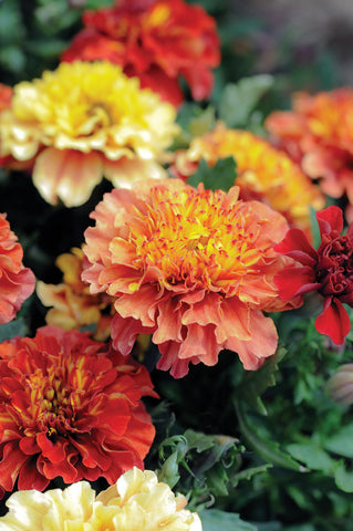 Tagetes 'Strawberry Blonde'