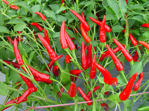 Chilipeppar 'Red Air' F1