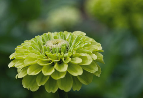 Zinnia 'Queen Lime'