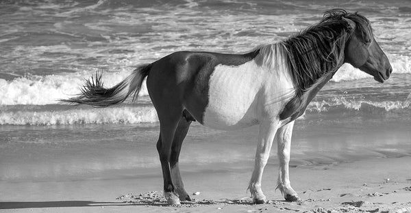 Assateague Island Pony B&W