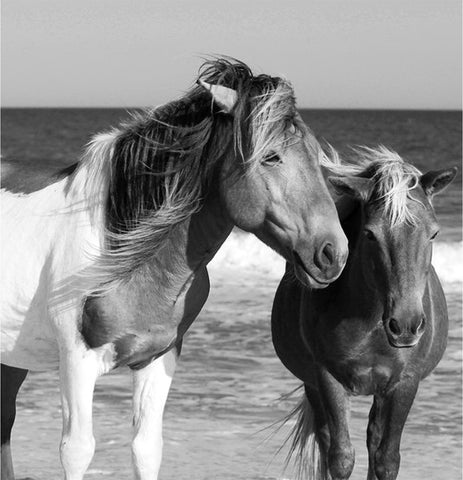 Wild Horses Assateague Island #5