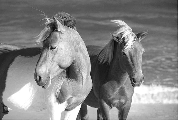 Wild Horses Assateague Island #1