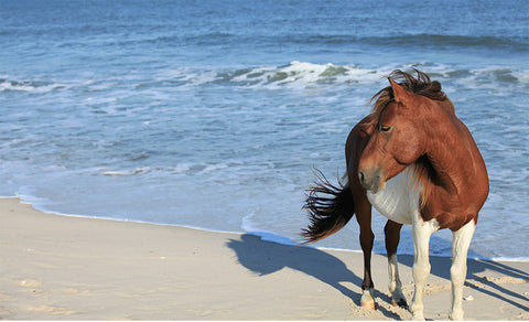 Wild Horse Assateague Island #2