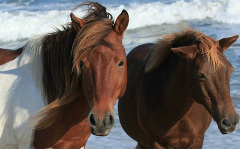 Wild Horses Assateague Island #6