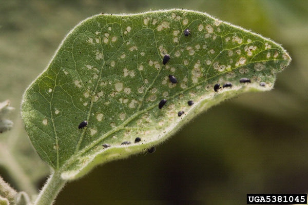 flea beetles in garden