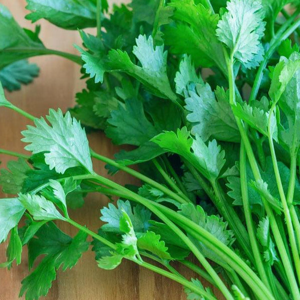 Caribe Cilantro 4-pack plant start