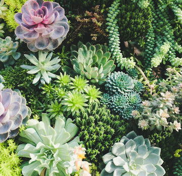 Succulents ~ various sizes and types