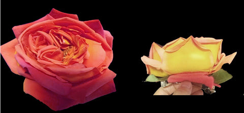 HUGE PEACH & YELLOW RIO SAMBA LOOK ARTIFICIAL ROSE - DRESS OR HAT ACCESSORY OR HAIR CLIP