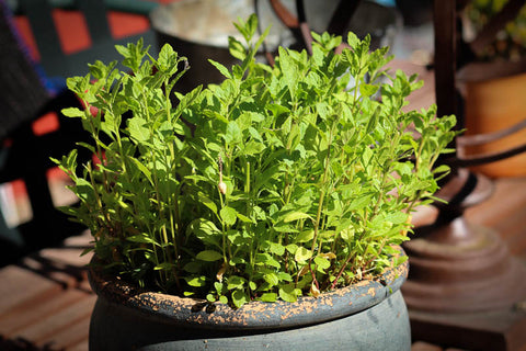 Rancho Gordo Cooking Main Dishes Recipe for Cakebread Cellars' Braised Beef with Heirloom Beans made with Rancho Gordo dried heirloom Yellow Indian Woman Beans and Mexican Oregano sprinkled with epazote like that pictured here growing in a pot