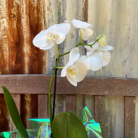 Growing Phaeleanopsis Orchid