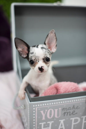 Adorable Kassidy ~ Gorgeous Blue Merle Female Teacup Chihuahua SOLD to Kimberly