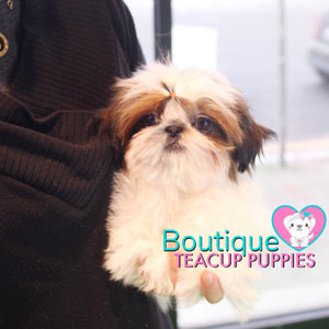 "Lil ""Miss Canada"" Is Ready To Meet Her New Loving Family <3 ...  Ultra Cute Factor !! Perfect Micro Shih Tzu !! Baby Doll Looks !! .... Micro White & Red Shih Tzu ...SOLD to Dianna!"
