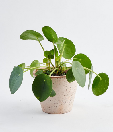 Pilea Peperomioides - Plant