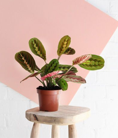 Maranta Prayer Plant - Plant