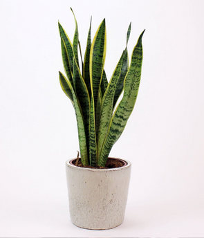 Mother in Law Tongue (Dracaena Trifasciata) - Plant