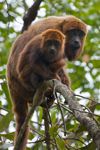Howler Monkey and baby