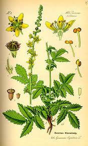 Agrimony Herb |  Church Steeples, Cocklebur, Garclive, Philanthropos, Sticklewort, Stickwort | Protection, Sleep, Banishing, Unhexing, Reversing, Business Affairs, Undo Curses and Jinxes, Stop Gossip and Slander