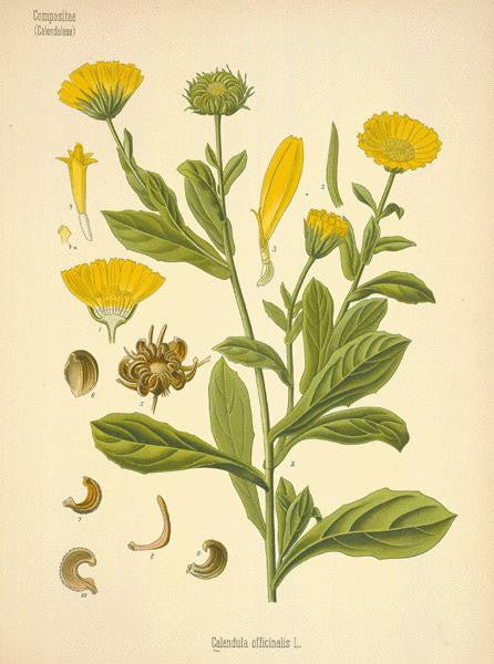 Calendula | Marigold, Bride Of The Sun, Holigolde | Luck In Money And Legal Matters, Prophetic Dreams