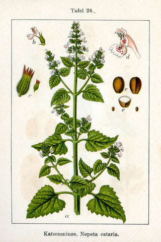 Catnip Herb | Catmint, Cat's Wort, Field Mint | Love-Drawing, Beauty, Happiness, Cat Magick, Animal Magick