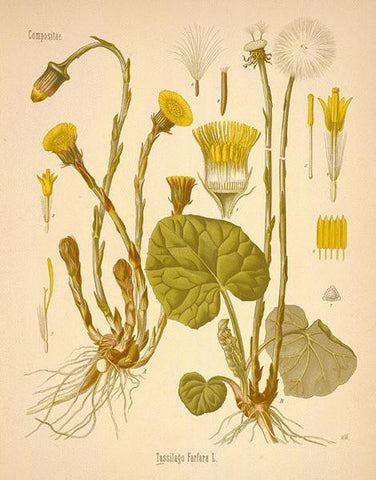 Coltsfoot | Coughwort, Foalswort | Peace, Tranquility, Healing, Psychic Visions