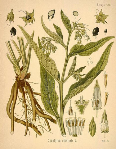 Comfrey | Knitbone, Blackwort | Safe Travel, Money Spells, Gambling