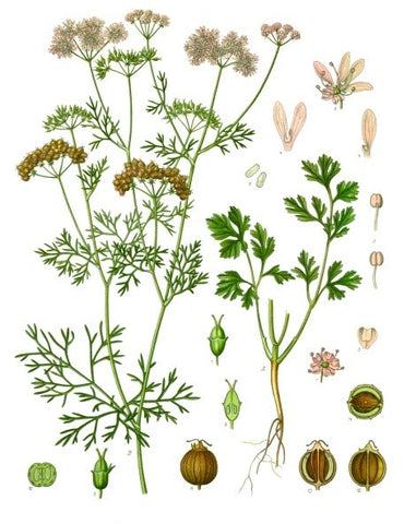 Coriander Seed | Chinese Parsley, Cilantro | Healing, Health, Love