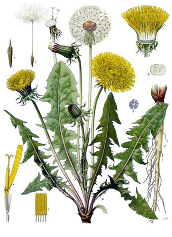 Dandelion Leaf | Blowball, Cankerwort, Lion's Tooth | Divination, Wishes, Calling Spirits