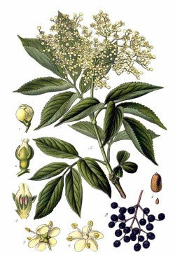 Elder Flowers | Frau Holle, Eldrum, Devil's Eye | Exorcism, Protection, Healing, Prosperity
