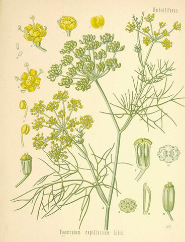Fennel Seed | Bitter Fennel, Carosella, Fenchel | Protection, Healing, Purification