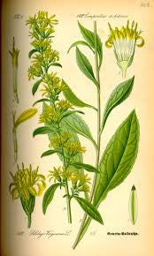 Goldenrod Herb | Woundwort, Aaron's Rod | Money, Love, Good Fortune