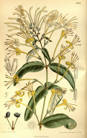 Honeysuckle Flowers | Woodbine, Jin Yin Hua | Money, Psychic Powers, Protection