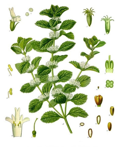 Horehound Herb | Bull's Blood, Eye Of Horus | Healing, Protection, Exorcism, Mental Powers