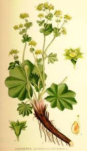 Lady's Mantle | Lion's Foot, Nine Hooks, Stelleria, Bear's Foot, Dewcup | Love Herbs