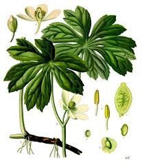 Mandrake Root (American) | Mayapple | Prosperity, Happiness, Intensify Magickal Workings