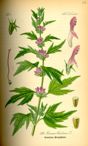 Motherwort | Lion's Ear, Throw-wort | Protection, Peace, Blessings For Family And Home